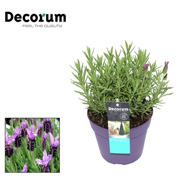Lavandula Blueberry Ruffles Decorum P17