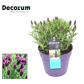 Lavandula Dark Royalty Decorum P17