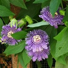 Passiflora fata confetto