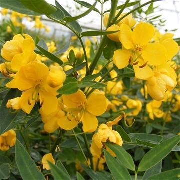 Senna floribunda