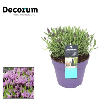 Lavandula Lilac Wings Decorum P17