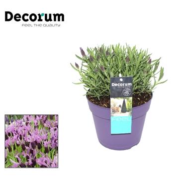 Lavandula Lilac Wings Decorum P17