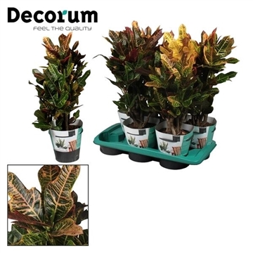 Croton Excellent vertakt (Decorum)