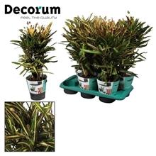 Croton Golden Bell vertakt (Decorum)