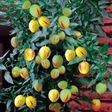 Solanum muricatum Pepino Gold