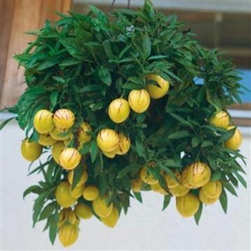 Solanum muricatum Pepino Yellow