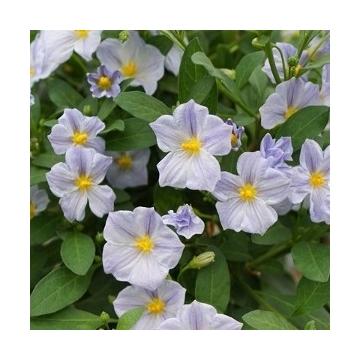Solanum rantonnetii Charles Blue Star P