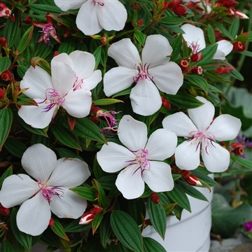 Tibouchina urv. White