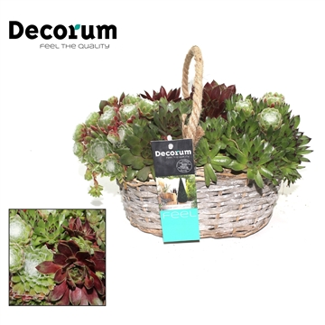 Sempervivum in Mand Decorum