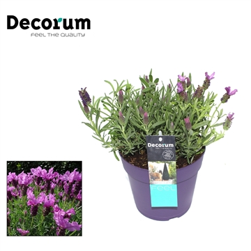 Lavandula Lusi Purple Decorum P17