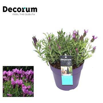 Lavandula Lusi Purple Decorum P17