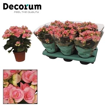Begonia romance licht rose