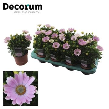 Osteospermum Softly Pink