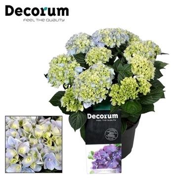 Hydrangea Ankong Baby Blue 7 - 12 kop (Decorum)