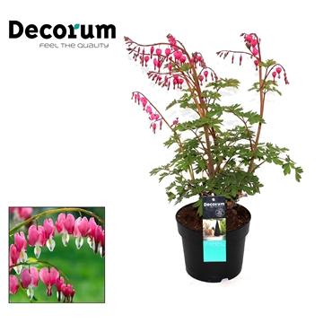 Dicentra Spectabilis Decorum P17