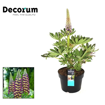 Lupinus Manhatten Light Decorum P21