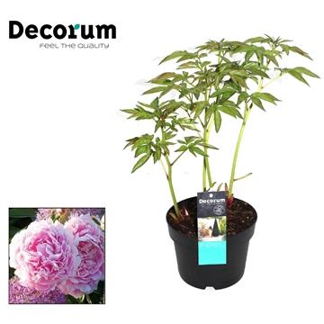 Paeonia Lact Sarah Decorum P17