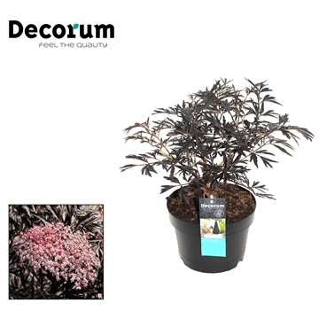 Sambucus  Black Lace Decorum P19
