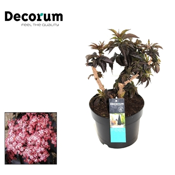 Sambucus Black Tower Decorum P19