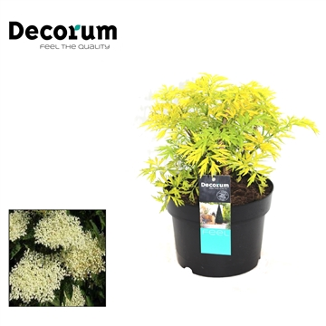 Sambucus Golden Tower Decorum P19
