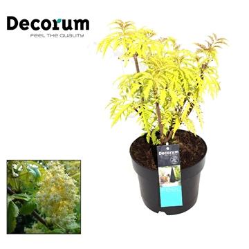 Sambucus Aurea Decorum P19