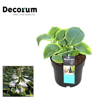 Hosta Frances Williams Decorum P17