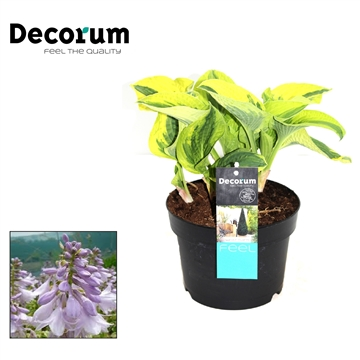 Hosta Wide Brim Decorum P17