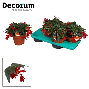 Begonia Beauvillea red
