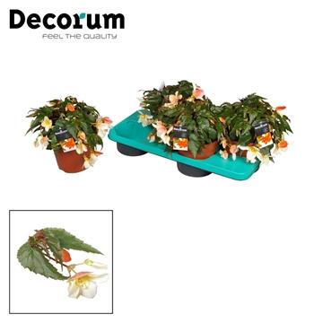 Begonia Dragoste