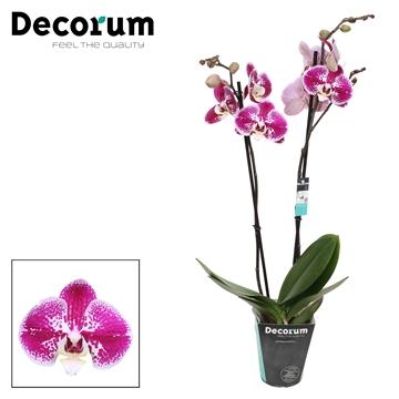 Phalaenopsis 2-Tak Compilation 60cm R2-2
