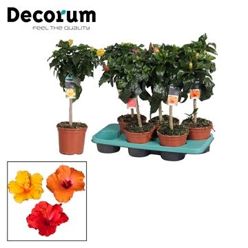 Hibiscus op stam - 15 cm - mix - Decorum