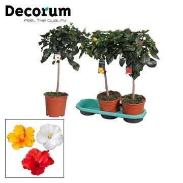 Hibiscus op stam - 19 cm - mix - Decorum