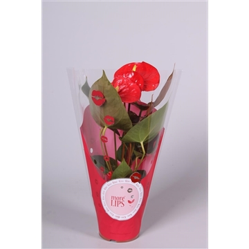 MoreLIPS® Anthurium Almera in ShowHoes