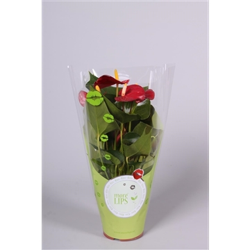 MoreLIPS® Anthurium Piccolo in ShowHoes