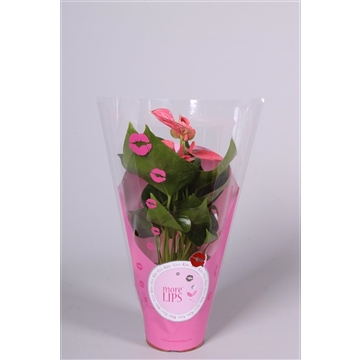 MoreLIPS® Anthurium Sweet Dream in ShowHoes