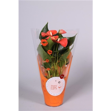 MoreLIPS® Anthurium Orange Champion in ShowHoes