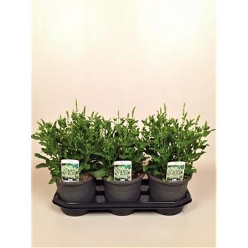 Salvia nemorosa 'Schneehugel'