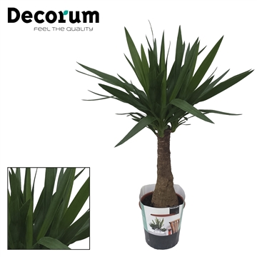 Yucca elephantipes Royal Offer