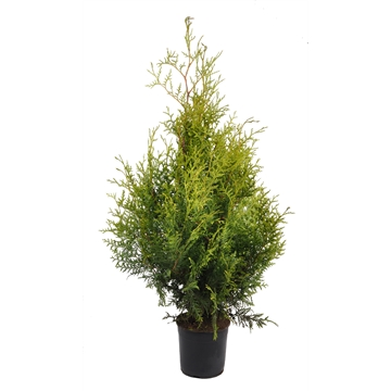 Thuja occ. brabant, plantmaat 60-80 cm - Rondgestoken -