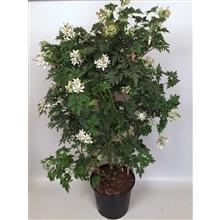 Braam Evergreen Thornless