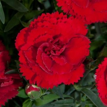 Dianthus - 13 cm - Colores Sangre (Dark Red) - Decorum