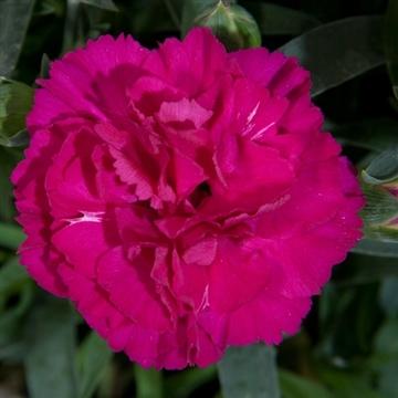 Dianthus - 13 cm - Colores Beso (Purple) - Decorum