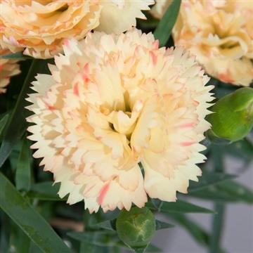 Dianthus - 13 cm - Colores Oro (Yellow) - Decorum
