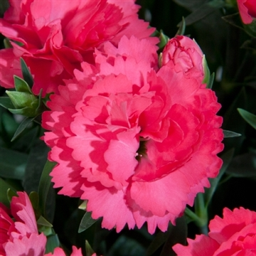Dianthus - 13 cm - Colores Dulce (Pink) - Decorum