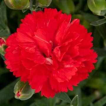 Dianthus - 13 cm - Colores Amor (Red) - Decorum