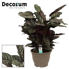 Calathea 32cm ornata decorum