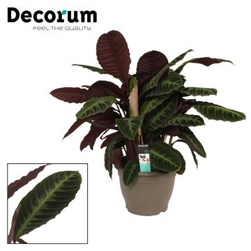 Calathea 32cm warcewiczii decorum