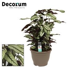 Calathea 32cm whitestar decorum
