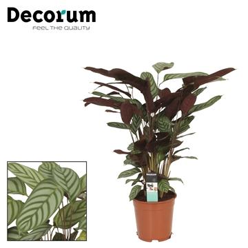Calathea 21cm compactstar decorum
