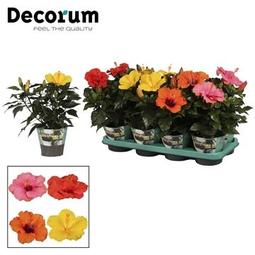 Hibiscus mixtray 13 cm 4 soorten
